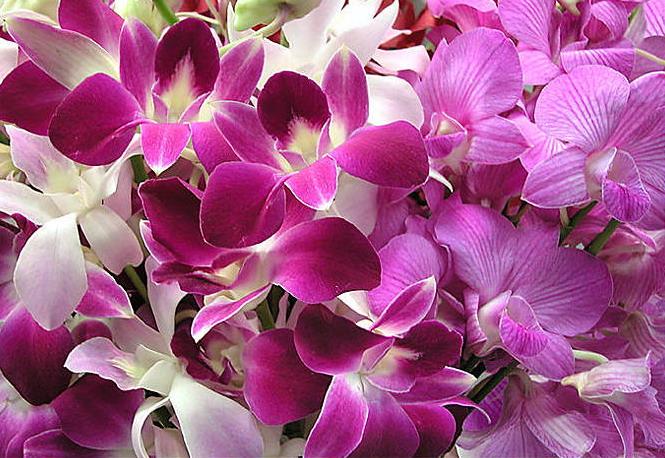 орхидеи уход за дендробиум нобиле уход в домашних условиях