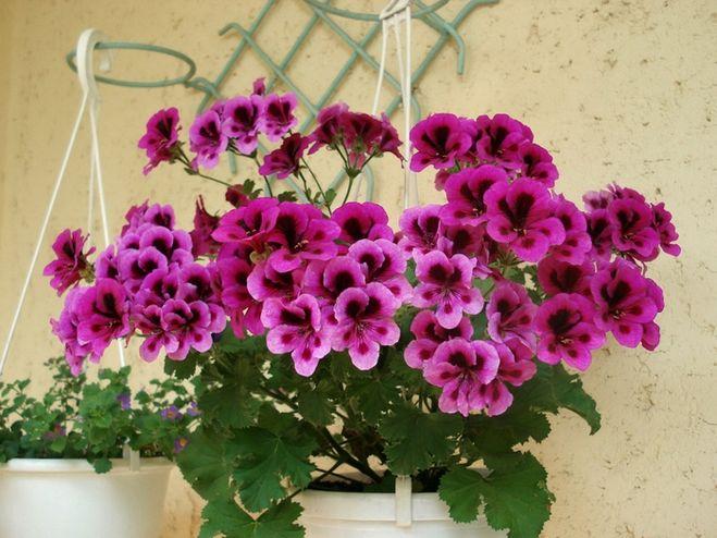 Комнатные цветы герань